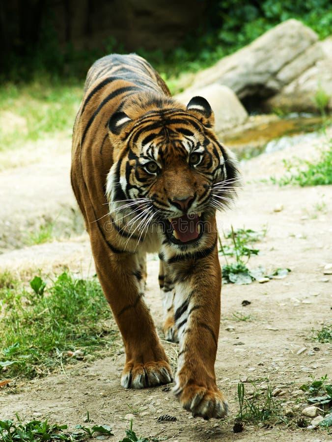 Download Tigre antes del ataque foto de archivo. Imagen de asia - 41901202