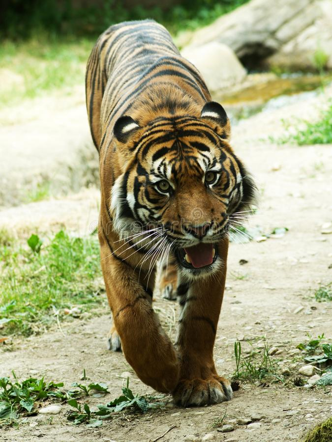 Download Tigre antes del ataque imagen de archivo. Imagen de gato - 41901265