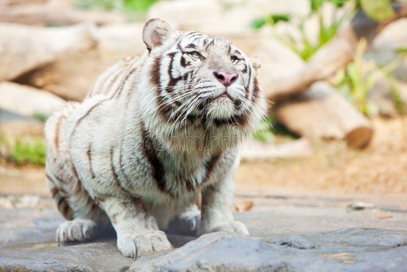 Tigre atraído por algo fotos de archivo libres de regalías