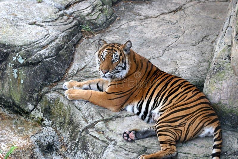 Tigre au repos image stock