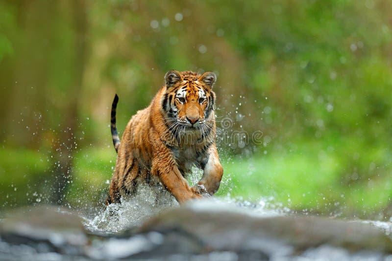 Tigre avec l'eau de rivière d'éclaboussure Scène de faune d'action avec le chat sauvage, habitat de nature Tigre fonctionnant dan photos libres de droits