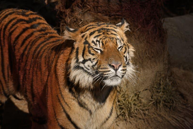 Tigre avec la vue fermée d'Eyes_Alternate photos stock