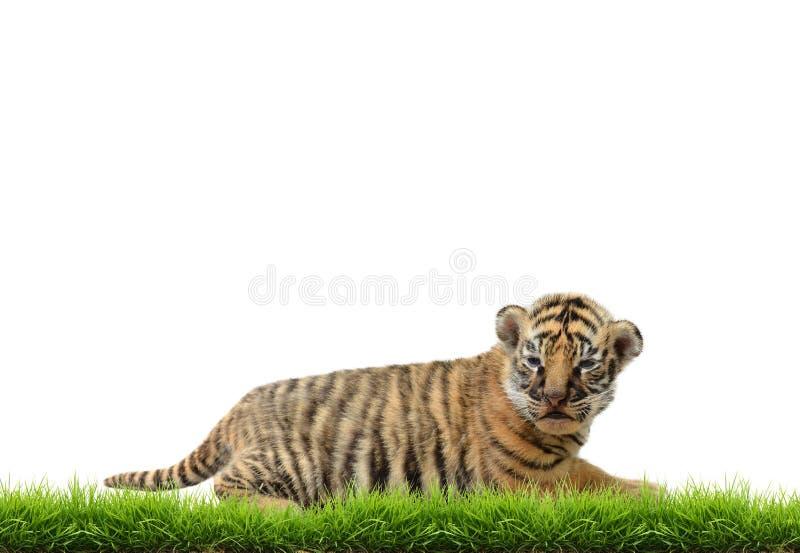 Tigre bangal del bambino con erba verde isolata fotografia stock libera da diritti