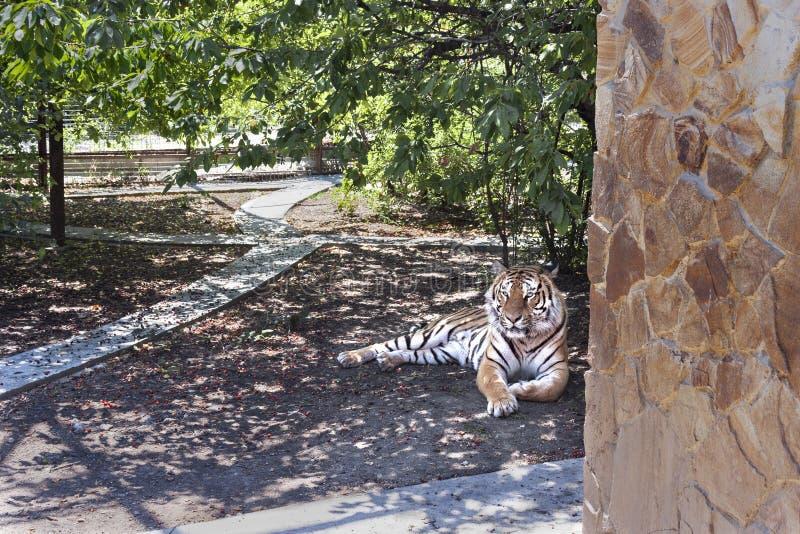 Tigre, bello animale potente, predatore del mammifero fotografie stock