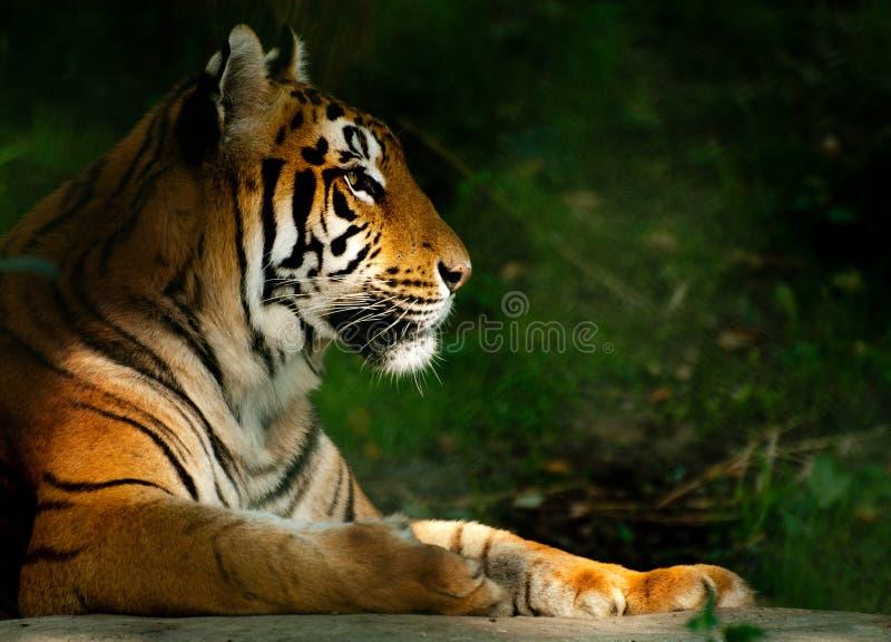 Tigre bengalí fotos de archivo libres de regalías