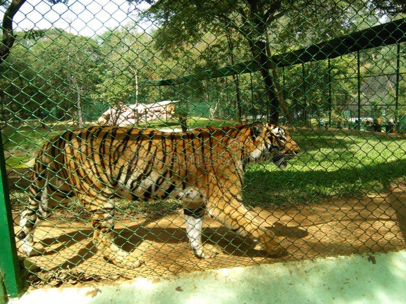 Tigre bengalí imagenes de archivo