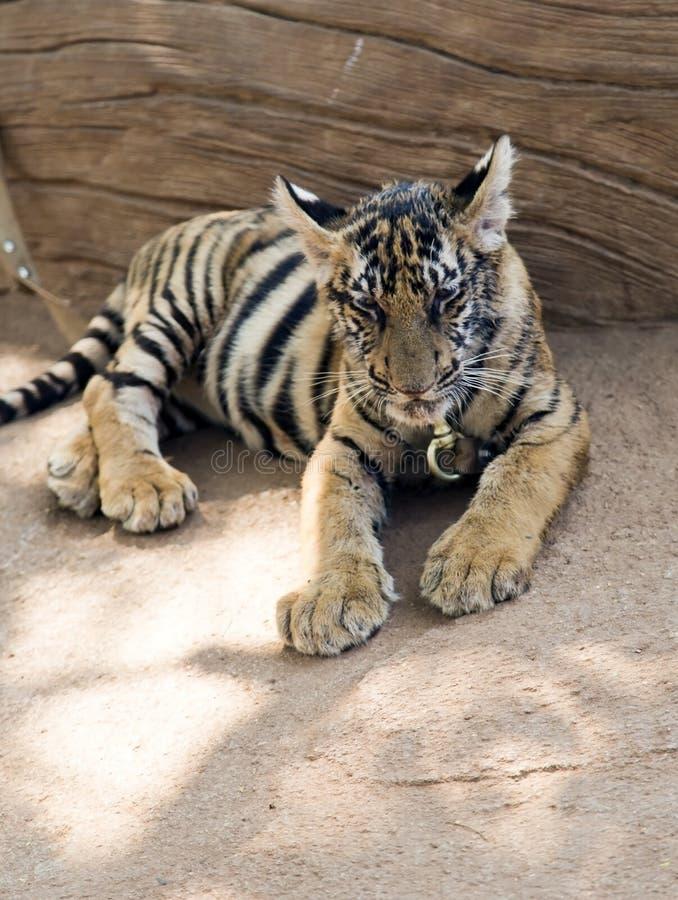Tigre bengalí joven en una cadena en Tiger Temple imagen de archivo libre de regalías
