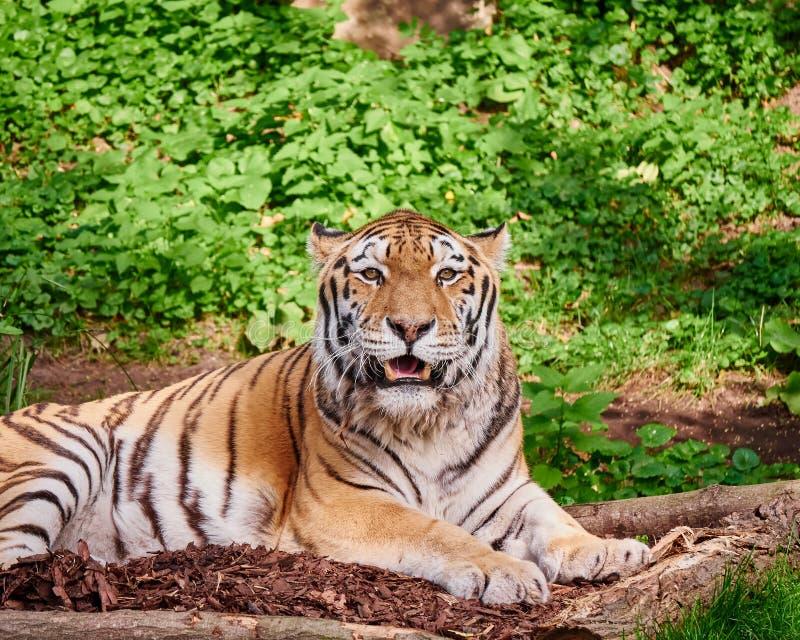 Tigre bengalí que mira la cámara imagenes de archivo