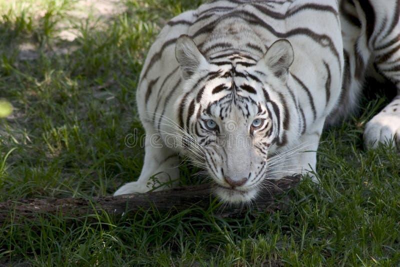 Download Tigre bianca fotografia stock. Immagine di felino, giungla - 201300
