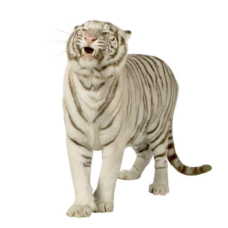 Tigre bianca (3 anni) fotografia stock libera da diritti
