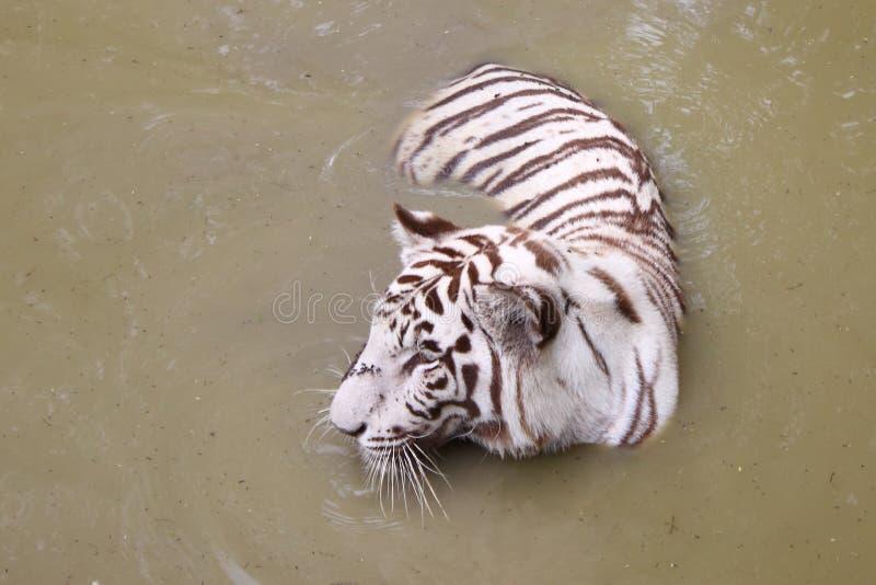 Tigre bianca al foro di acqua fotografia stock