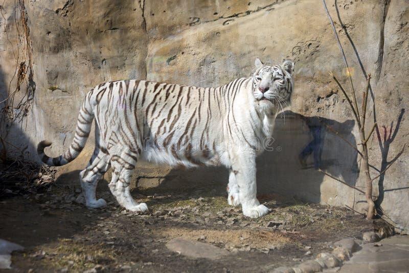 Tigre (bianca) del bengalese immagine stock