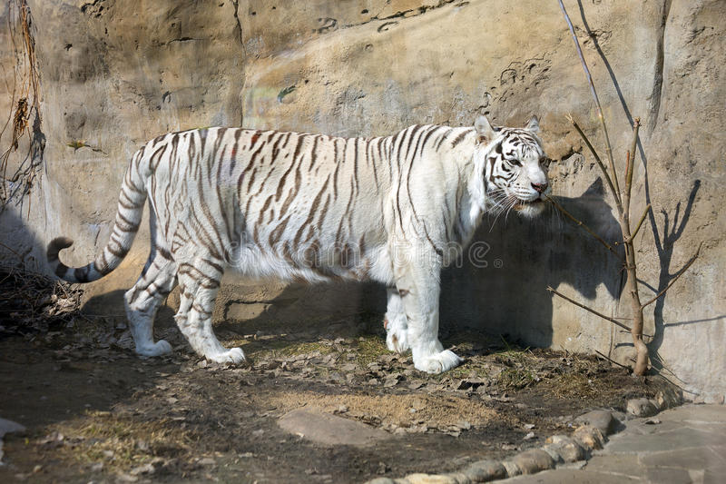 Tigre (bianca) del bengalese fotografie stock