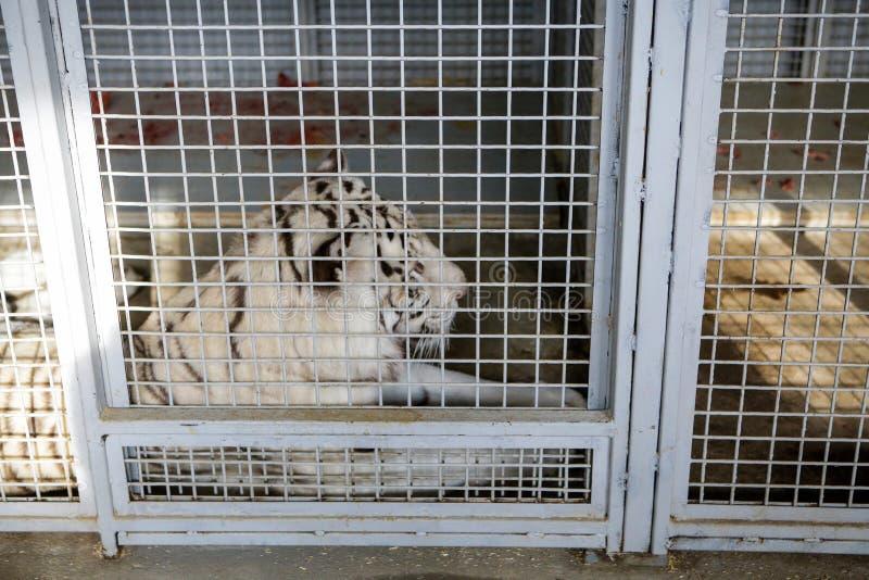 Tigre bianca tenuta in gabbia dentro un serraglio del circo - abuso animale immagine stock