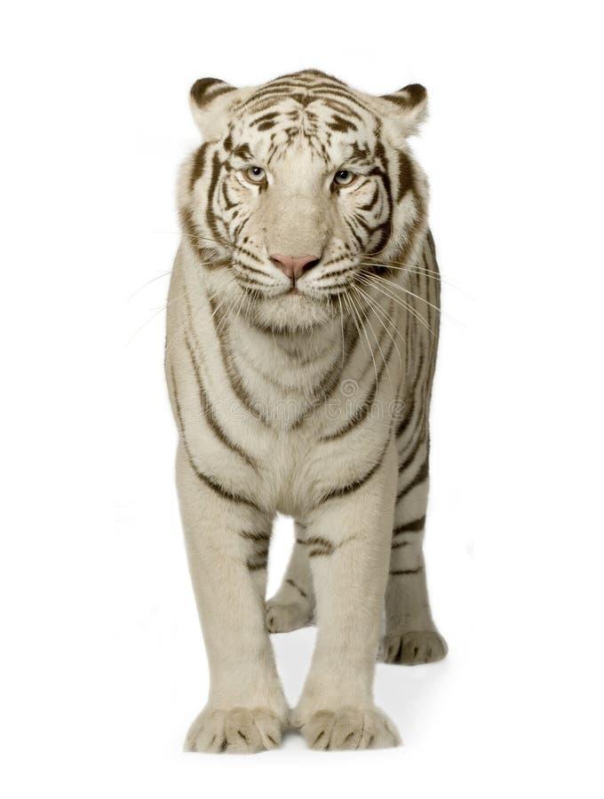 Tigre blanc (3 ans) photographie stock libre de droits