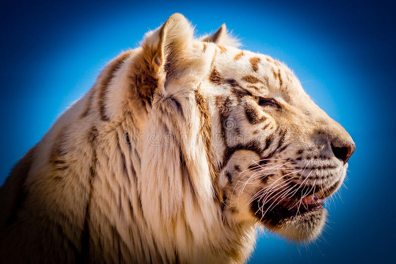 Tigre blanc - couleur photos libres de droits