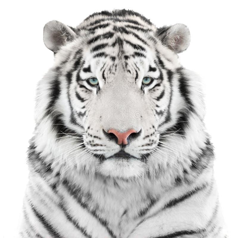 Tigre blanc d'isolement photos libres de droits