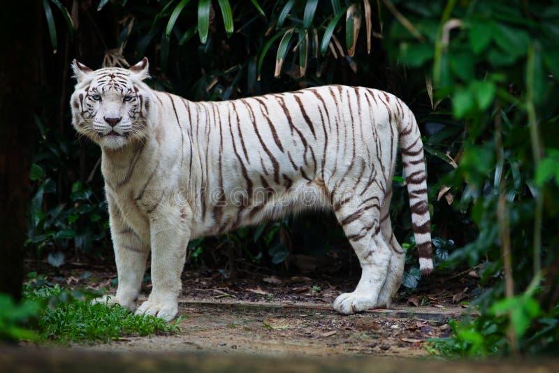 Tigre blanc dans la for t photo stock image du grand - Images tigres gratuites ...