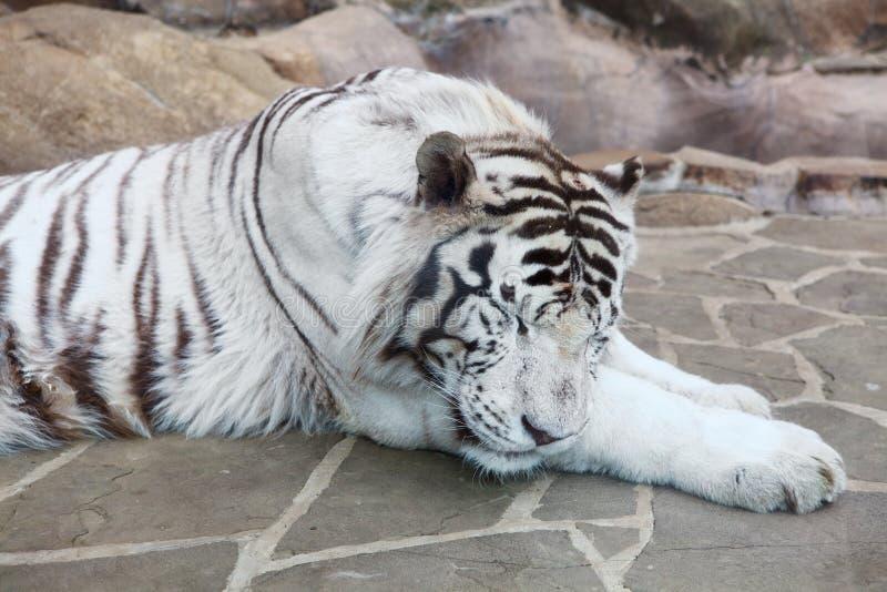 Tigre blanc de sommeil images stock