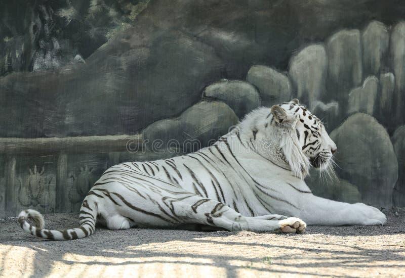 Tigre blanc du Bengale au zoo image stock