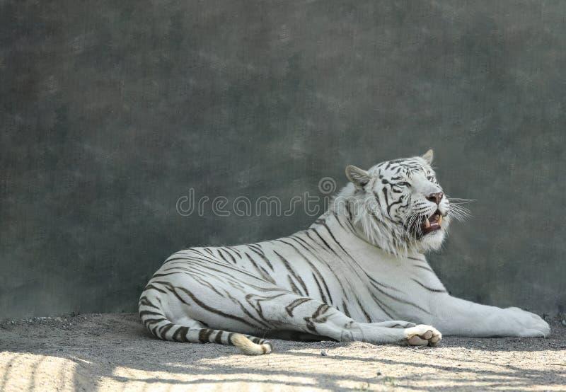 Tigre blanc du Bengale au zoo photographie stock