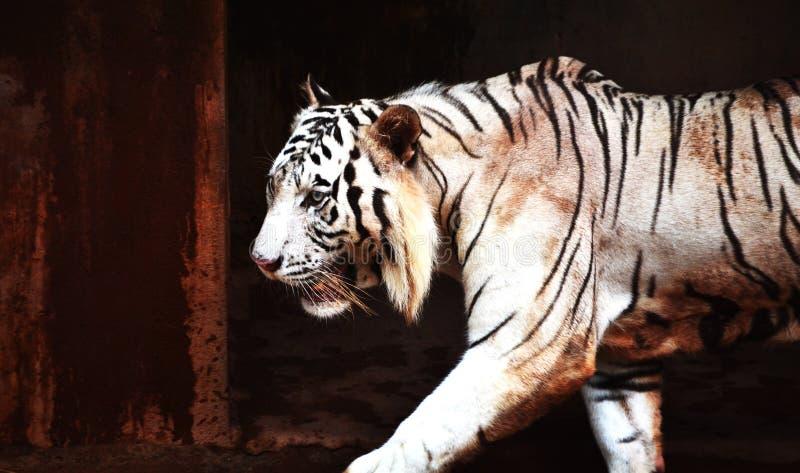 Tigre blanc fâché marchant dans la cage images stock