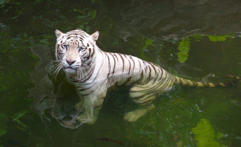 Tigre blanc grincheux dans l'eau photos libres de droits