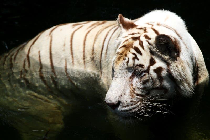 Tigre blanco foto de archivo libre de regalías