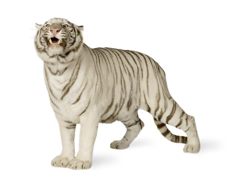 Tigre blanco (3 años) imágenes de archivo libres de regalías
