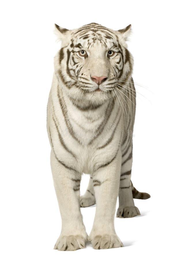 Tigre blanco (3 años) fotos de archivo