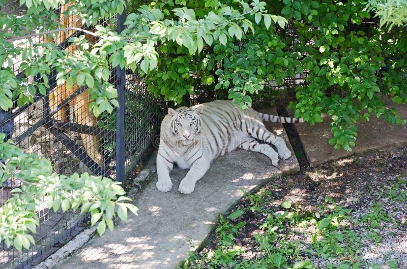 Tigre blanco adentro enjaulado en el parque zoológico de Yalta fotografía de archivo libre de regalías