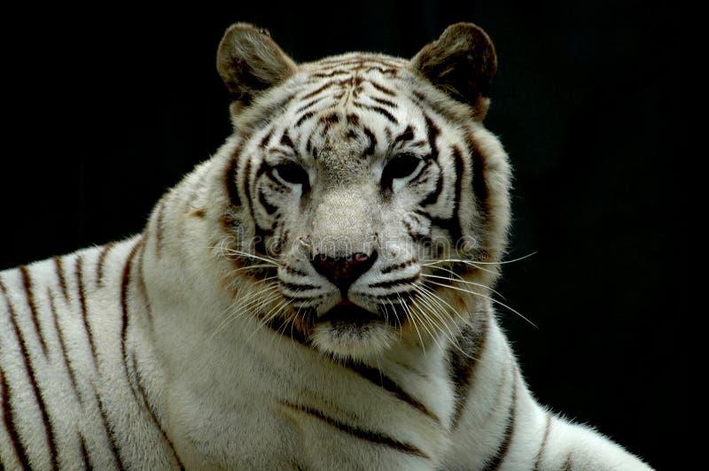 Tigre blanco del bengalí imagen de archivo