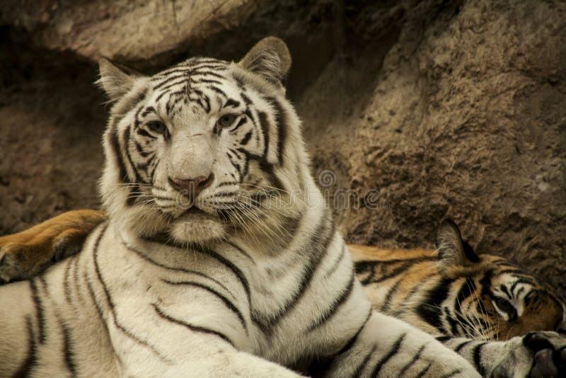 Tigre blanco/tigre blanco en Chiang Mai Night Safari, Tailandia imagen de archivo libre de regalías