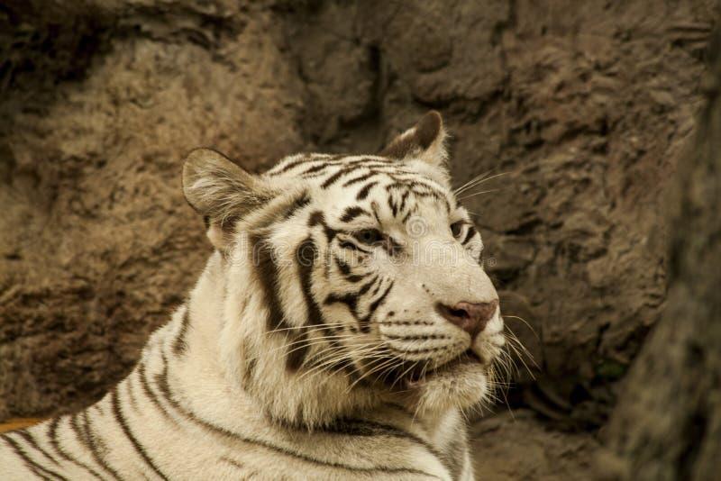 Tigre blanco/tigre blanco en Chiang Mai Night Safari, Tailandia fotos de archivo libres de regalías