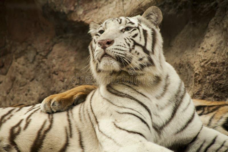 Tigre blanco/tigre blanco en Chiang Mai Night Safari, Tailandia foto de archivo
