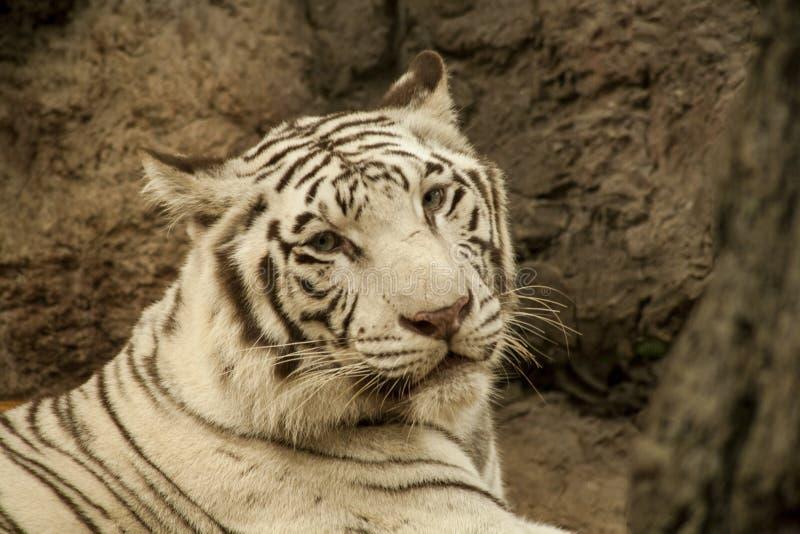 Tigre blanco/tigre blanco en Chiang Mai Night Safari, Tailandia imágenes de archivo libres de regalías