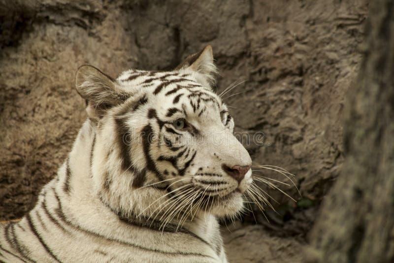Tigre blanco/tigre blanco en Chiang Mai Night Safari, Tailandia fotografía de archivo libre de regalías