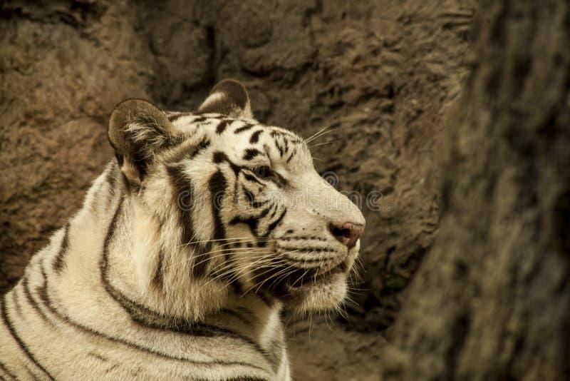 Tigre blanco/tigre blanco en Chiang Mai Night Safari, Tailandia fotografía de archivo