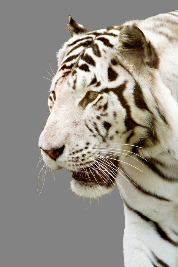Tigre blanco, gris fotos de archivo libres de regalías