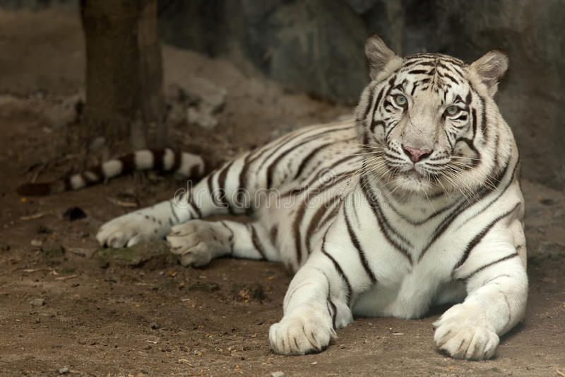 Tigre blanco real imágenes de archivo libres de regalías