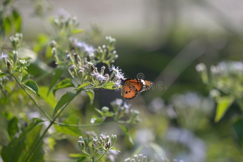 Tigre bonito da planície da borboleta imagem de stock