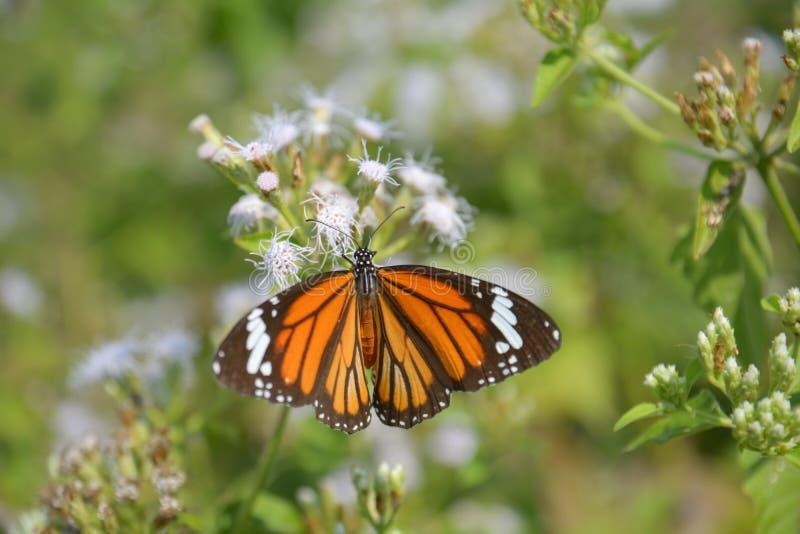 Tigre bonito da terra comum da borboleta fotografia de stock