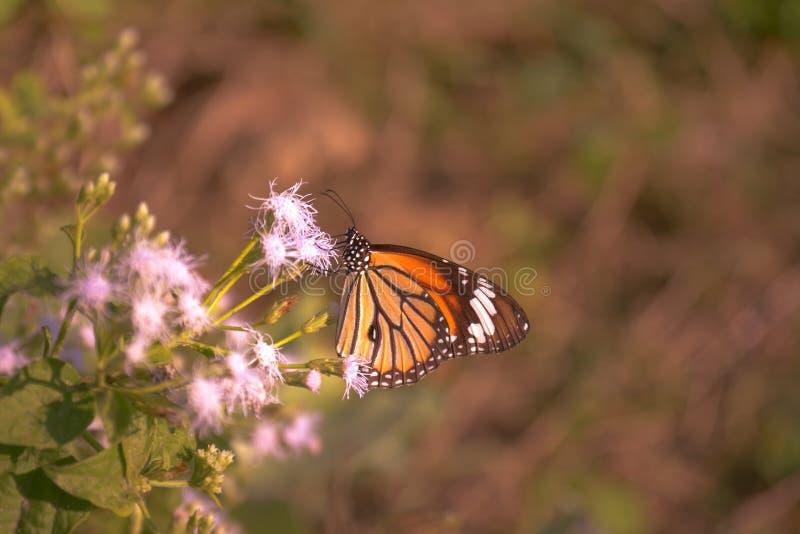 Tigre bonito da terra comum da borboleta imagens de stock