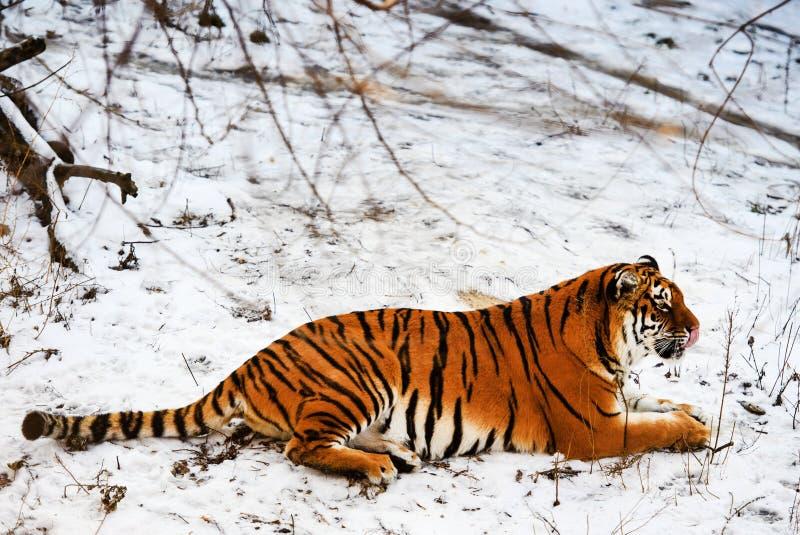 Tigre bonito de Amur na neve Tigre no inverno Cena dos animais selvagens com animal do perigo fotografia de stock royalty free