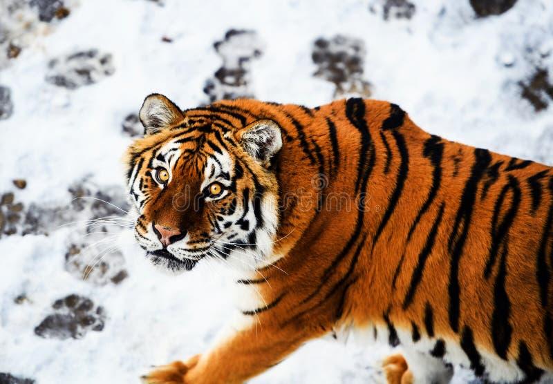 Tigre bonito de Amur na neve Tigre no inverno Cena dos animais selvagens com animal do perigo imagem de stock royalty free