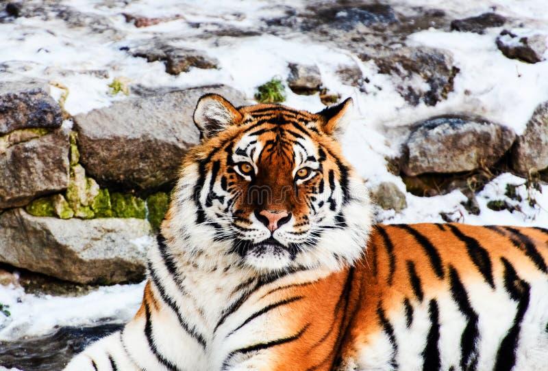 Tigre bonito de Amur na neve Tigre no inverno Cena dos animais selvagens com animal do perigo imagens de stock royalty free