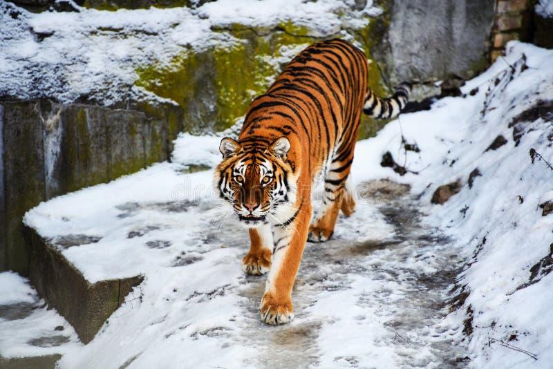 Tigre bonito de Amur na neve Tigre no inverno Cena dos animais selvagens com animal do perigo foto de stock royalty free