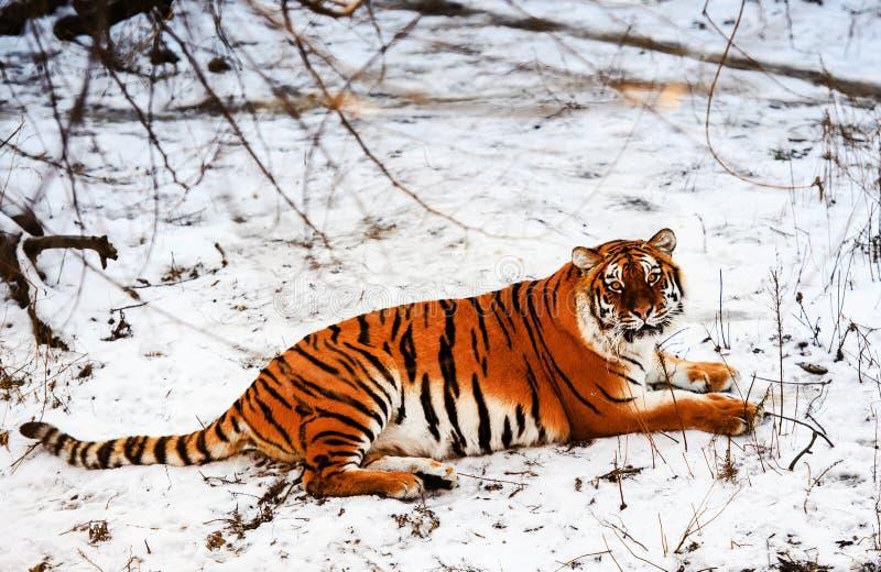 Tigre bonito de Amur na neve Tigre no inverno Cena dos animais selvagens com animal do perigo fotografia de stock