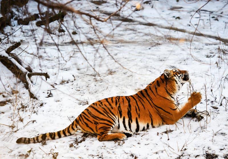 Tigre bonito de Amur na neve Tigre no inverno Cena dos animais selvagens com animal do perigo foto de stock