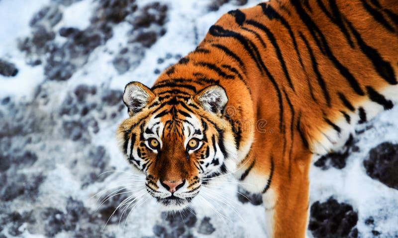 Tigre bonito de Amur na neve Tigre no inverno Cena dos animais selvagens com animal do perigo fotos de stock